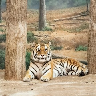 Eric Pillot,Tigre et forêt,  © Eric Pillot – Courtesy Galerie Dumonteil